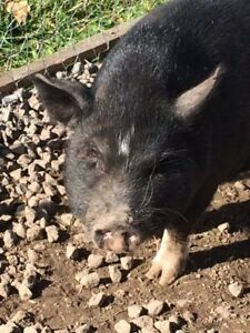 Mini pot belly pig 2 years old
