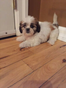 Very cute and lovable Female Shih Tzu puppy left