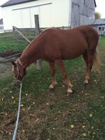 Well Built Mare With Flashy Flaxen Mane