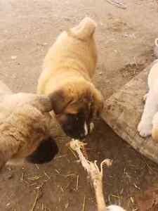 Akita puppies Strathcona County Edmonton Area image 4