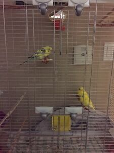 Budgee birds and cage for sale!