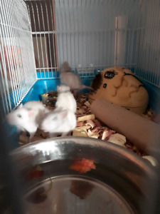 Jeune Rats bleuté/Blanc  a vendre