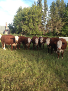 Bred Purebred Polled Hereford 2 year old Heifers