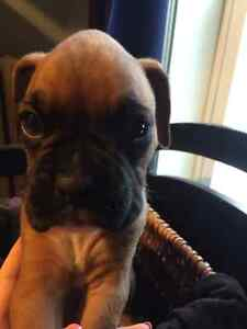 CKC Registered Purebred, Champion Sired Boxer Puppies