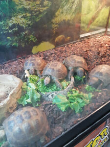 Russian or Red foot tortoise