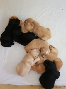 Bernese Retriever puppies for sale!