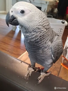 LOST AFRICAN GREY WITH HARNESSES ON