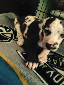 Beautiful Great Dane Puppies! Due July/August 2016!