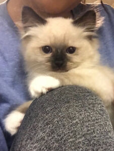 One male left! 12 week mitted ragdoll