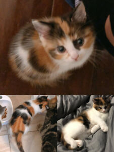 Female kitten born on July 29th looking for a loving home