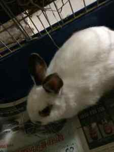 Dwarf Bunny Plus Cage, Toys and Bowl for sale Kitchener / Waterloo Kitchener Area image 2