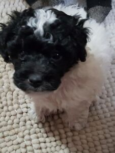 Toy Poodle Adopt Dogs Puppies Locally In Canada Kijiji Classifieds
