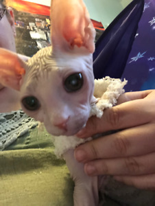 Special Needs Sphynx Hairless Male Cat