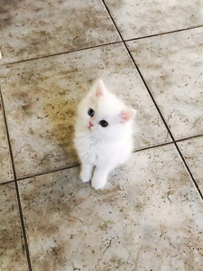 2 WHITE PERSIAN KITTENS MALE with BLUE EYES