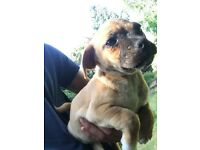 Jug 3/4 Pug puppy for sale girl 10 weeks old
