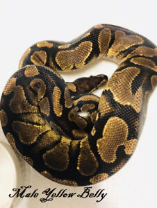 Adult Male Yellow Belly