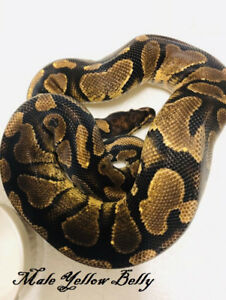 Yellow Belly Male Adult