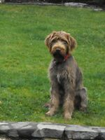Purebred wirehaired pointing Griffon