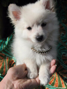 Toy Pomeranian pup looking for a good home