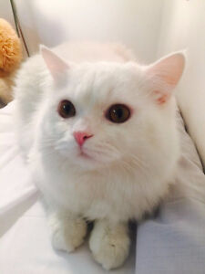 1 year old exotic shorthair persian mix
