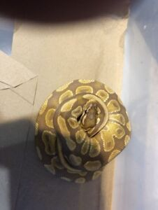 Pair of ball pythons for sale or trade
