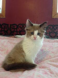 Beautiful Ragdoll Kittens!