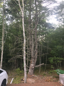 Pine trees to be cut back or removed.