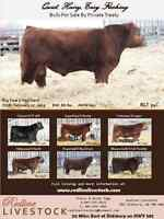 Red Angus, Black Angus, Polled Hereford Yearling Bulls