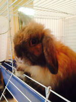 Lionhead Mix Bunny Looking for new loving owner