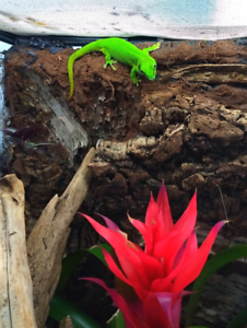 Phelsuma grandis giant day gecko pair