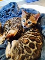 AMAZING TICA REGISTERED TOP QUALITY BENGAL KITTENS