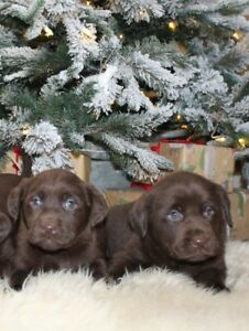 CKC Reg'd Labrador Retriever Puppies