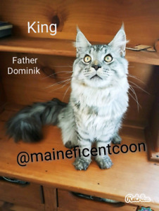 Maine Coon   Adopt Cats & Kittens Locally in Alberta