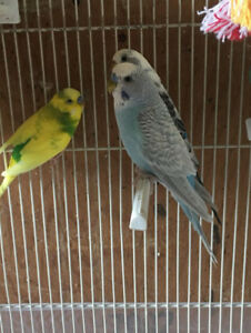 Budgies for sale!