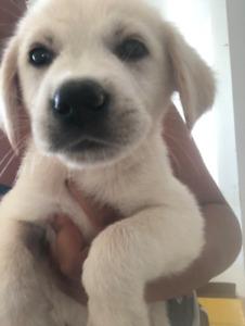 ♡♡ golden retriever cross puppies ♡♡