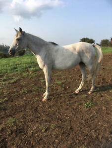 Nice quiet Reg. Grey Arabian Broodmare