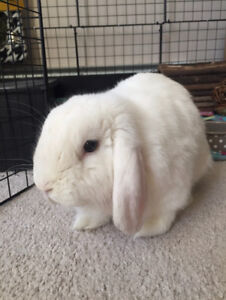 Lovely Holland Lop Bunny