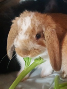 1 Baby Holland lop bunny left