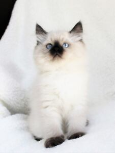Fluffy Ragdoll kittens are available for adoption,