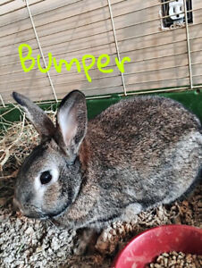 Neutered Male American Standard Rabbit for Adoption - Bumper