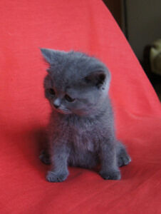British Shorthair kittens. West Island Greater Montréal image 2