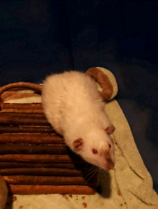 Rats looking for great homes