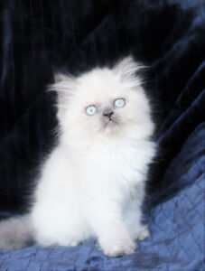 Female Persian Kittens for Adoption - Lilac Point , Tortie point