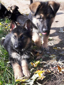 King German Shepherd Puppies