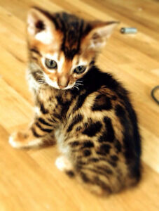 STUNNING Purebred Bengal Kittens - Registered with TICA