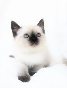 Ragdoll Siamese kittens are ready for their new homes