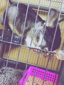 Chinchilla for sale with the whole set up