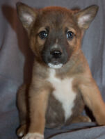 Chow Chow x Shepherd Puppies - ONE BOY LEFT