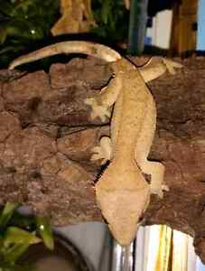 Baby female crested geckos for sale