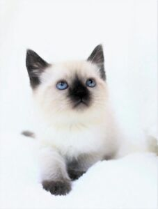Ragdoll Siamese kittens are available for their new homes.,